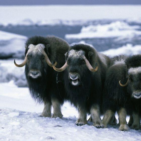 Ox-nature-Alaska